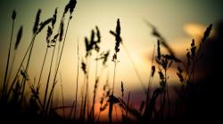 Grass Silhouette Wallpaper 15257