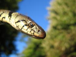 File:Grass snake head.jpg