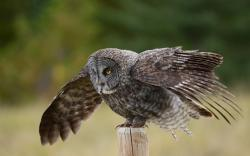 Great Gray Owl Bird Wings