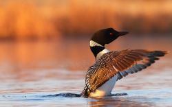 Great Northern Loon Gavia Immer Bird