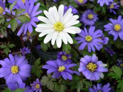 Grecian windflower (Anemone blanda)