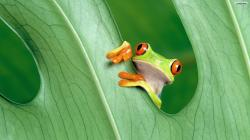 Animal-wallpapers-Cute Green Frog-wallpaper