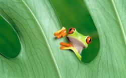 ... Green Frog On Wallpapers (8) ...