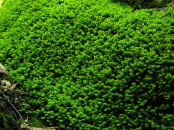 779hk-moss.jpg -- Brilliant green ...