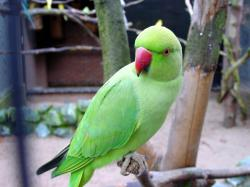 green parrots wallpapers (8)