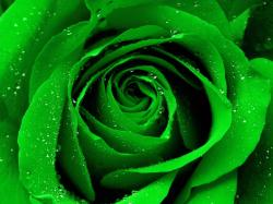 Images for Gt Green Rose Wallpapers