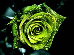free dew on green rose pictures wallpaper – 1024 x 768 pixels – 305 kB