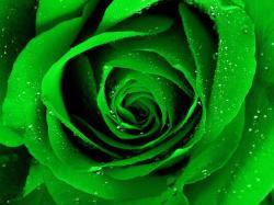 Green Rose Wallpaper HD