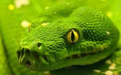 Green Snake Head - HD Background Wallpaper