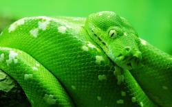 Snake Reptiles Green Animals Pictures Reptile Zastavki HD Wallpapers