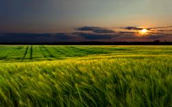 Green wheat field sunset