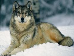 Grey Wolf 18 HD Images Wallpapers