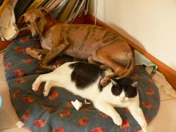 Greyhound puppy and cat