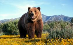 Grizzly Bear Wallpaper · Grizzly Bear Wallpaper ...