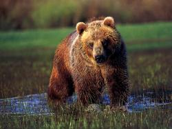Grizzly Bear In Water (wallpaper size).