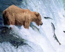 Bear Photographs : Grizzly Bear.