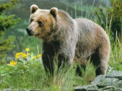 An Adult Grizzly Bear (wallpaper size).