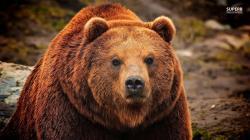 Grizzly bear wallpaper 1366x768