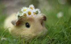 Animals_Rodents_Guinea_pig_034093_