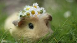 ... Guinea-Pig-HD-Wallpaper-Humsms-6 ...
