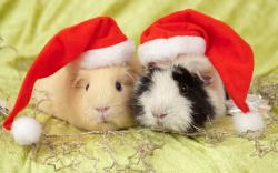 ... Guinea Pig Wallpaper · Guinea Pig Wallpaper