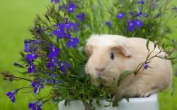 Guinea Pig Wallpaper 6747