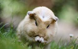 ... guinea-pig-wallpaper ...