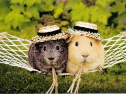 guinea pig desktop wallpaper 1400x1050