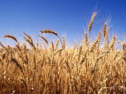 Harvest-Time-Wallpaper