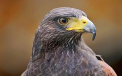 Download. Description wallpaper: Hawk Bird ...