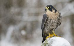 Falcon Bird Predator Look Winter Snow