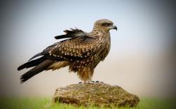 Hawk Bird Stone