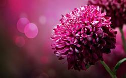 Desktop Wallpaper: Purple Chrysanthemum Flowers Desktop Wallpaper Hd Free Xpx 1920x1200px
