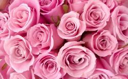 HD Pink Roses Wallpaper 23380 2560x1600 px