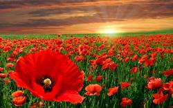 HD Poppy Wallpaper 24009 1920x1200 px