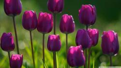 Purple Tulips Hd Desktop Wallpaper High Definition Fullscreen