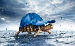 beautiful-multi-colours-tortoise-wearing-a-blue-cap-