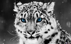 Please check our latest hd wallpaper widescreen below and bring beauty to your desktop. White Tiger Wallpaper