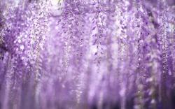Spring Wisteria Flowers Bokeh HD Wallpaper