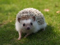 Hedgehog Pictures