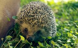 Hedgehog Wallpaper; Hedgehog Wallpaper ...