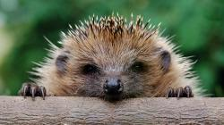Free Hedgehog Wallpaper