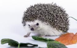 HD Wallpaper | Background ID:329870. 1680x1050 Animal Hedgehog