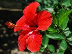 ... Hibiscus Flowers ...