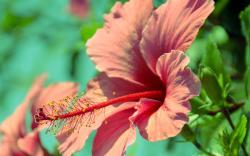 Hibiscus Flowers; Hibiscus Flowers ...
