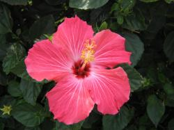 Hibiscus Flower Images 20 HD Wallpapers