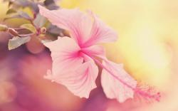 Pink Hibiscus Flower Wallpapers Xpx Art 2560x1600px