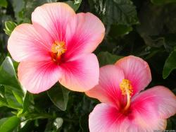 """Being an inquisitive person, I looked into the """"Great Hibiscus Decline"""", for lack of a better term. I found several confluent factors, and some interesting ..."""