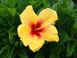 Desktop backgrounds · Animal Life · Flowers Yellow Hibiscus