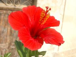 File:Hibiscus rosa-sinensis (bloom).JPG
